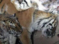 Circus Tigers and Lions Suffocate in Trucks When Traveling in Siberia