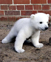 Berlin Zoo's polar bear Knut recovers from toothache