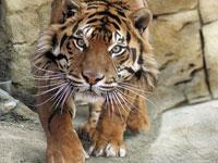 One more Sumatran tiger killed, skinned, eaten