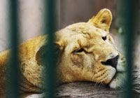 Lion Mauls Four-Year-Old in Russian Zoo