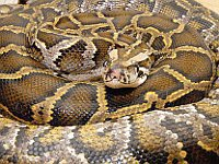 Giant python swallows sleeping man up whole in India. 51644.jpeg
