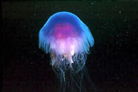 Notorious jellyfish (ices.dk)