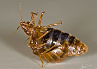 Bedbugs inseminate their females stabbing them with love sword