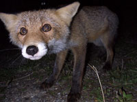 Fox Attacks Twin Girls, Causes Serious Injuries to Both