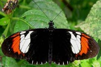 Two butterfly species evolved into third, in the lab