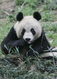 Panda bred in captivity dies after it was released into the wild