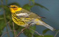 Global Climate Change Makes U.S. Birds Shrink