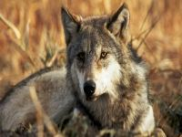 Hundreds of foxes and wolves devastate agriculture in Russia's Far East. 49673.jpeg