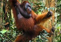 Female orangutan attacks French tourist in Malaysian wildlife sanctuary