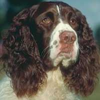 English springer spaniel becomes America's top dog