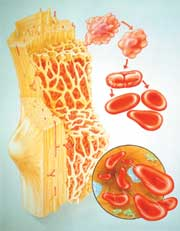bone marrow and stem cells