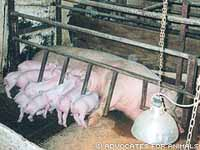 New U.S. study rekindles debate over putting pregnant sows in crates