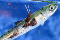 Sea lice kill wild salmon in Canada