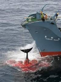 Japanese catcher ship harpoons a whale