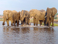 Elephant population drops by 75 percent in Indonesia