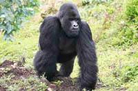 Four mountain gorillas killed in Congo