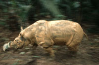 Sumatran rhinoceros born in captivity to be moved from LA zoo to Indonesia