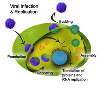 Scientists: herpes infection triples risk of contracting HIV