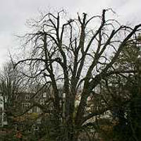 Anne Frank chestnut tree to be felled being diseased