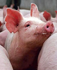 Two pig heads stuck on metal stakes at site of planned Islamic school in Australia