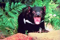 Tasmanian devils, a gift to baby prince, have arrived in Denmark