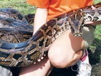 Rock Pythons In Miami May Endanger Wildlife