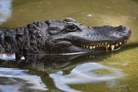 Russians to eat crocodile meat from Philippines. 53741.jpeg