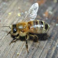 Team of 200 scientists decode honeybee genome
