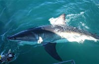 Great white shark attacks two people in Australia