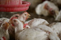 WHO confirms first case of bird flu human contraction in Myanmar