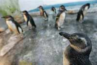 Antarctic penguins invade sunny beaches of Brazil