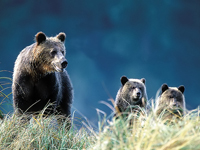 Debates Over Grizzly Bear Population