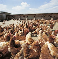 Britain's poultry industry under attack of bird flu