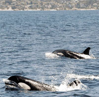 US Navy to reduce harm it does to whales