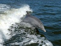 India: Dolphins declared non-human persons. 50764.jpeg