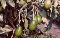 California growers sue government for Mexican avocado import