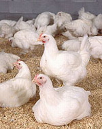 Immigration officials carry out raids upon Pilgrim's Pride Corp chicken plants