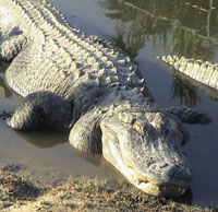 Thief chased by police jumps into alligator-infested lake