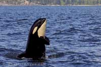 Killer whales breed in Washington state
