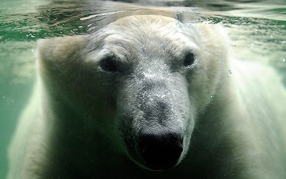 Polar bears turn bald in Alaska. Polar bears go bald