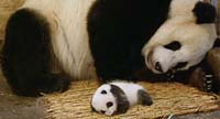 Zoo Atlanta's new baby panda makes media debut