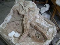 Giant skeleton found in Argentina