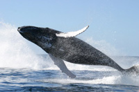 International Whaling Commission Considers 25-Year Moratorium on Commercial Whaling