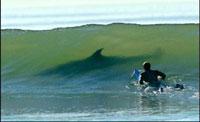 Buttock-biting shark attacks surfer in Australia