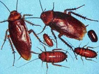 Cockroaches to be added to Red Book in Russia