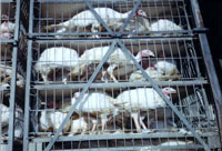 British government enlarges number of poultry to be killed due to bird flu