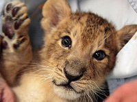 Woman registers young lioness as domestic cat to travel by train. 52818.jpeg