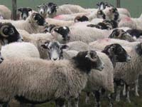 30 counts of cruelty to animals filed against US man who kept sheep in his home