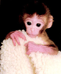 US scientists clone monkey embryos