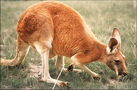 Kangaroo dies from dose of tranquilizer